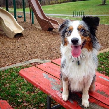 Australian Shepherd sitting at a playground.
