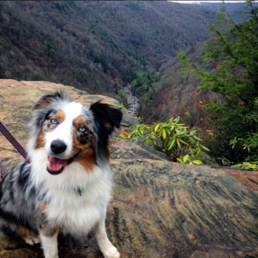 australianshepherd, hike, hiking with dogs, state park, blackwater falls